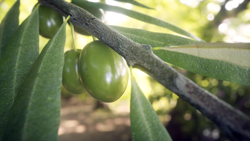 Hojiblanca Spanish olives on an olive branch