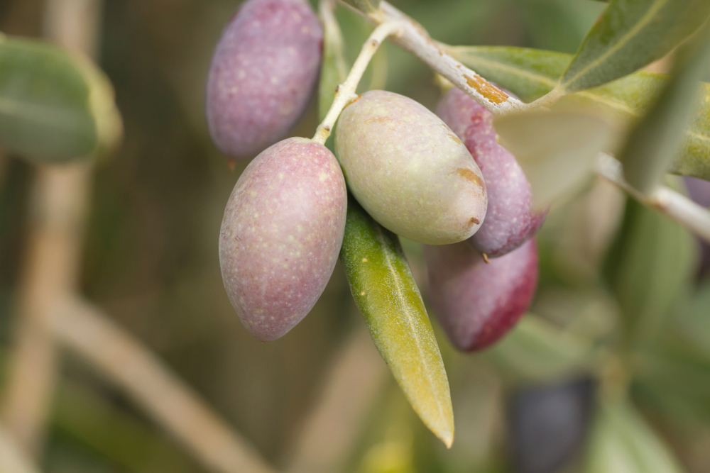 Picual Spanish Olives on an olive branch