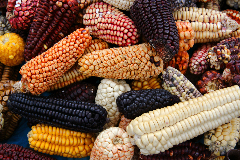 Various types and colors of Peruvian corn