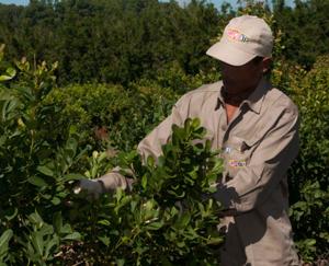 Man picking yerba mate leaves